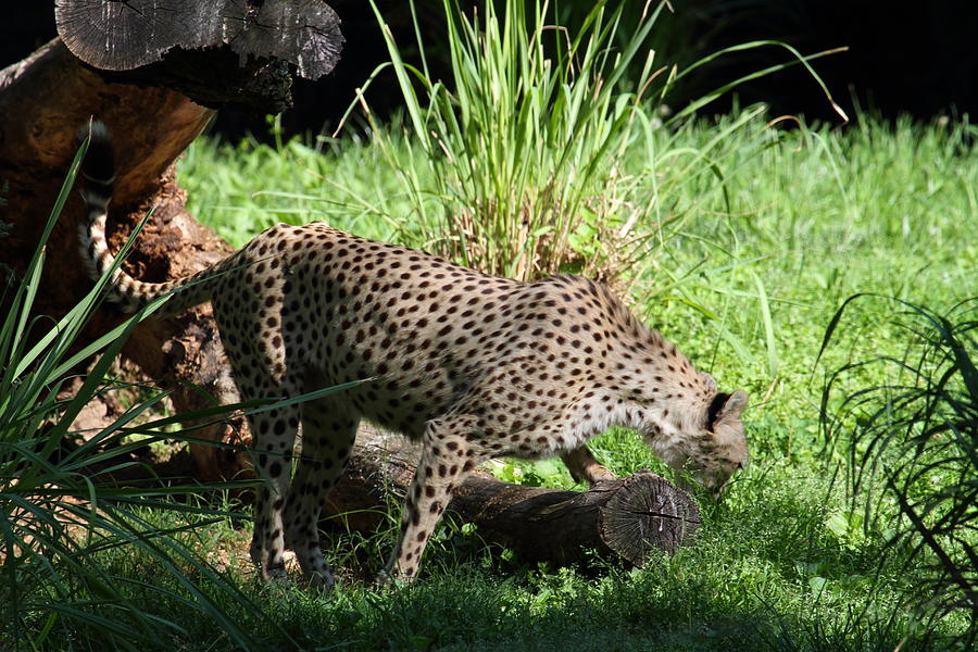 National Photograph - National Zoo - Leopard - 01137 by DC Photographer