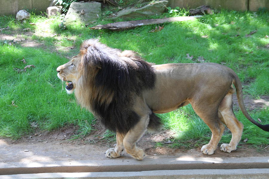 National Photograph - National Zoo - Lion - 01131 by DC Photographer