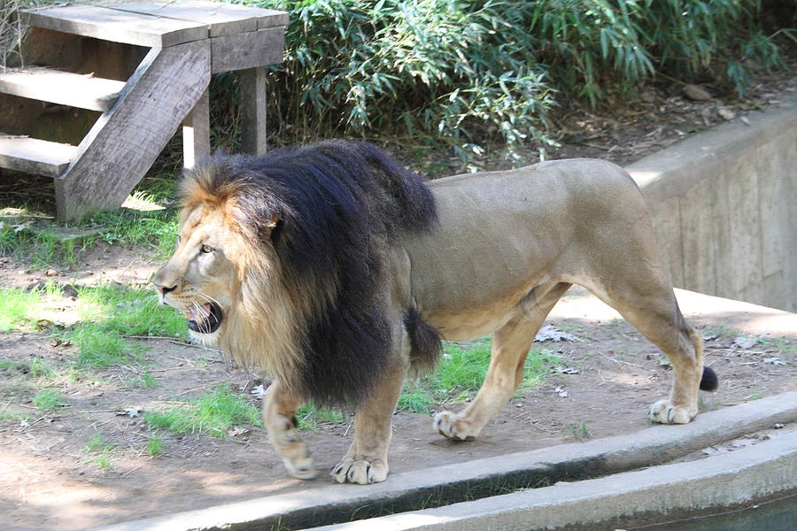 National Photograph - National Zoo - Lion - 011311 by DC Photographer