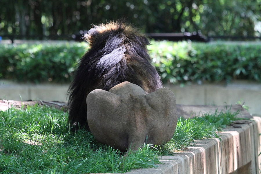 National Photograph - National Zoo - Lion - 011314 by DC Photographer