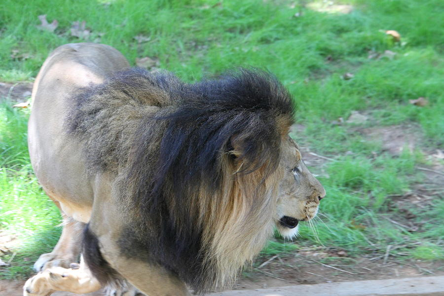 National Photograph - National Zoo - Lion - 01133 by DC Photographer
