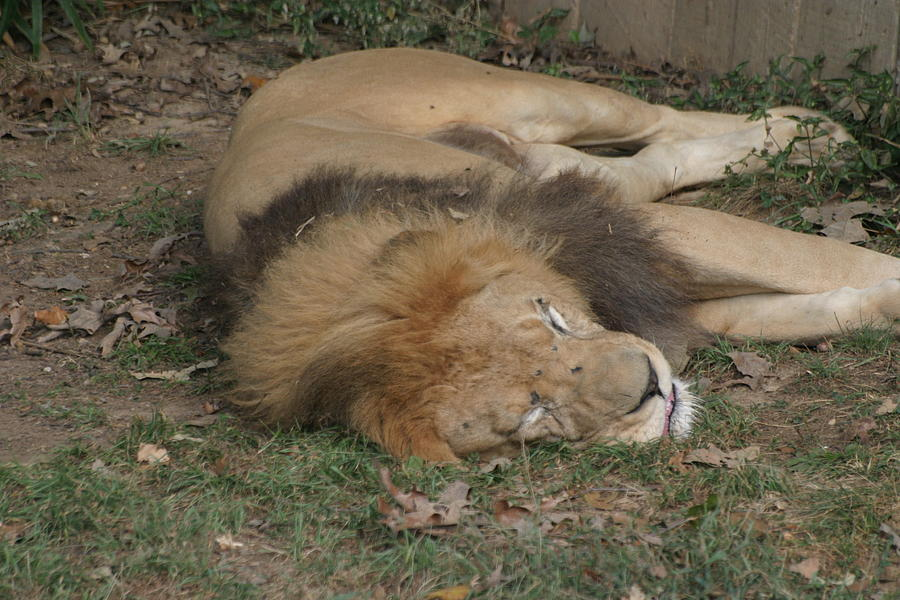 National Photograph - National Zoo - Lion - 12121 by DC Photographer