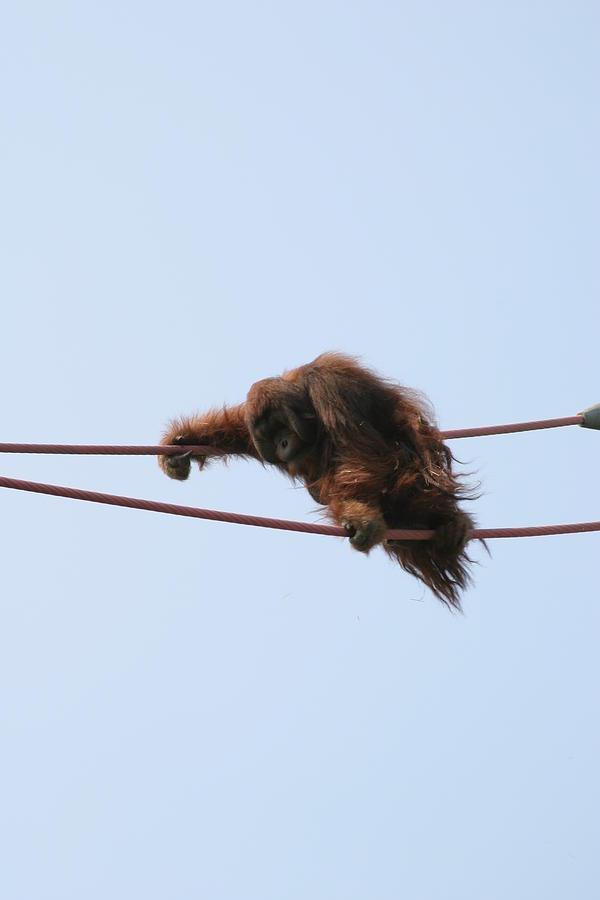 National Photograph - National Zoo - Orangutan - 121214 by DC Photographer
