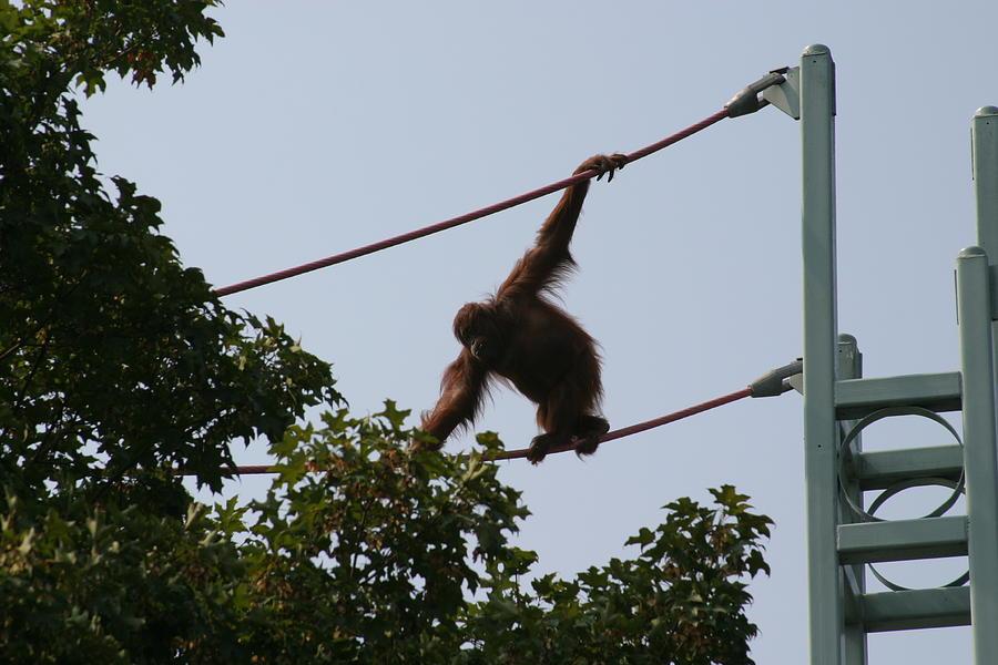 National Photograph - National Zoo - Orangutan - 12122 by DC Photographer