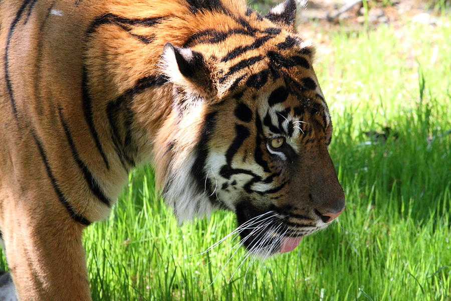 National Photograph - National Zoo - Tiger - 011321 by DC Photographer