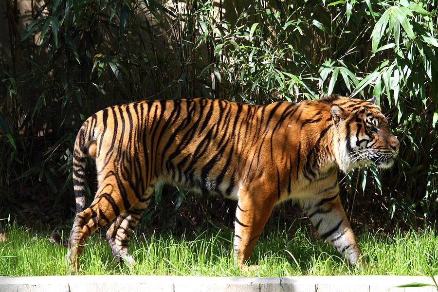 National Photograph - National Zoo - Tiger - 01138 by DC Photographer