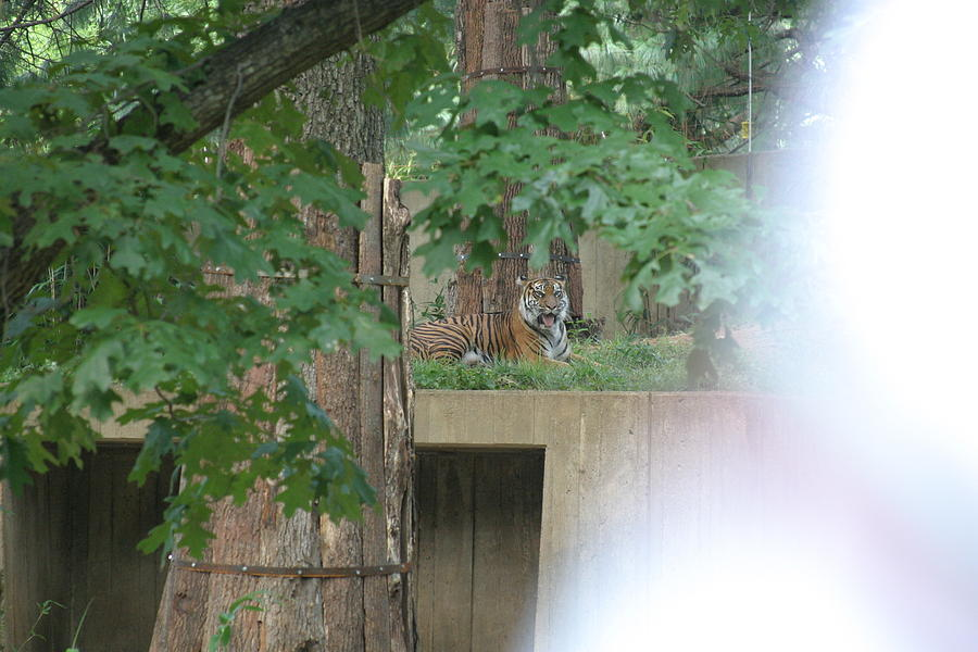 National Photograph - National Zoo - Tiger - 12129 by DC Photographer