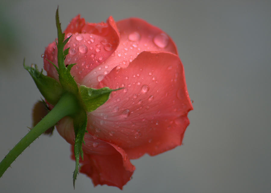 Rose Photograph - Natural Beauty From Behind by Jen T