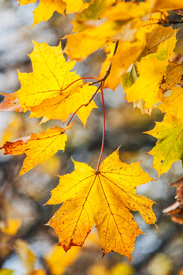 Autumn Photograph - Natural Patchwork. Golden Mable Leaves by Jenny Rainbow
