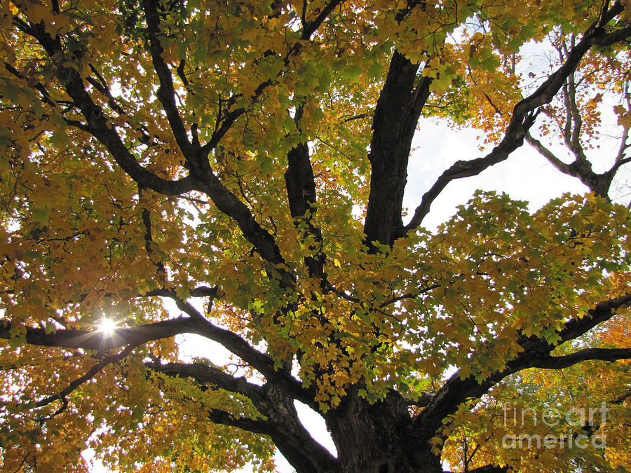 Tree Photograph - Natural Sunburst Through Autumn Tree by Minding My  Visions by Adri and Ray