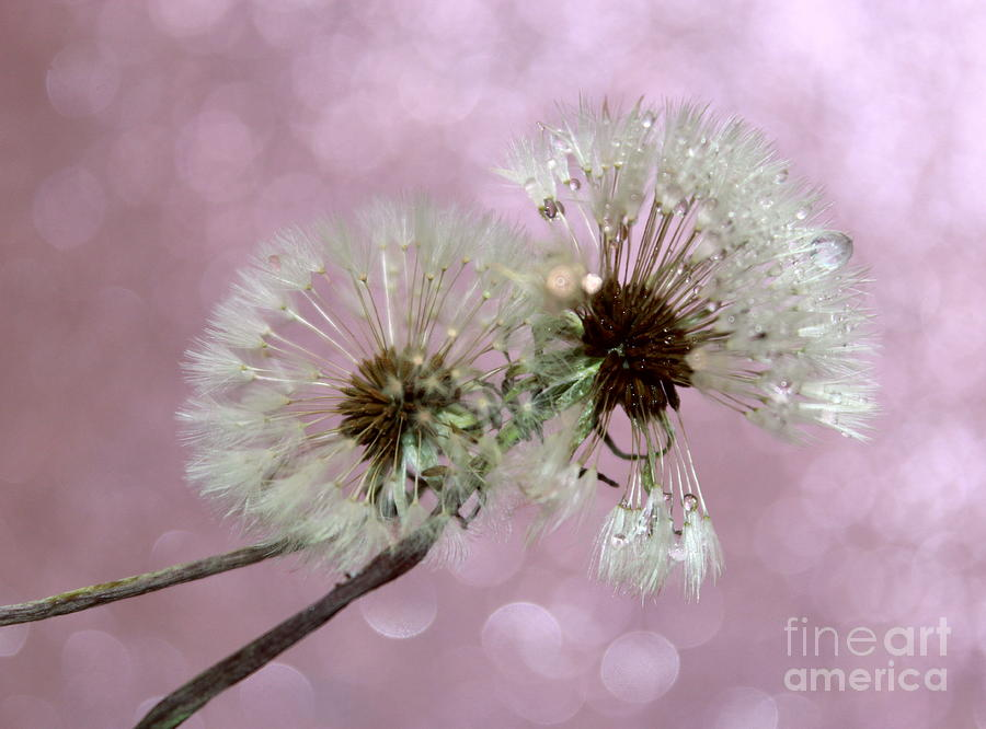 Dandelion Photograph - Nature Wish by Krissy Katsimbras