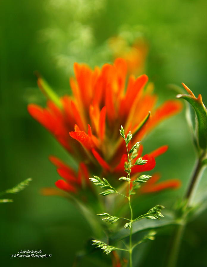 Indian Paintbrush Photograph - Natures Artistic Tool by Alexandra  Rampolla