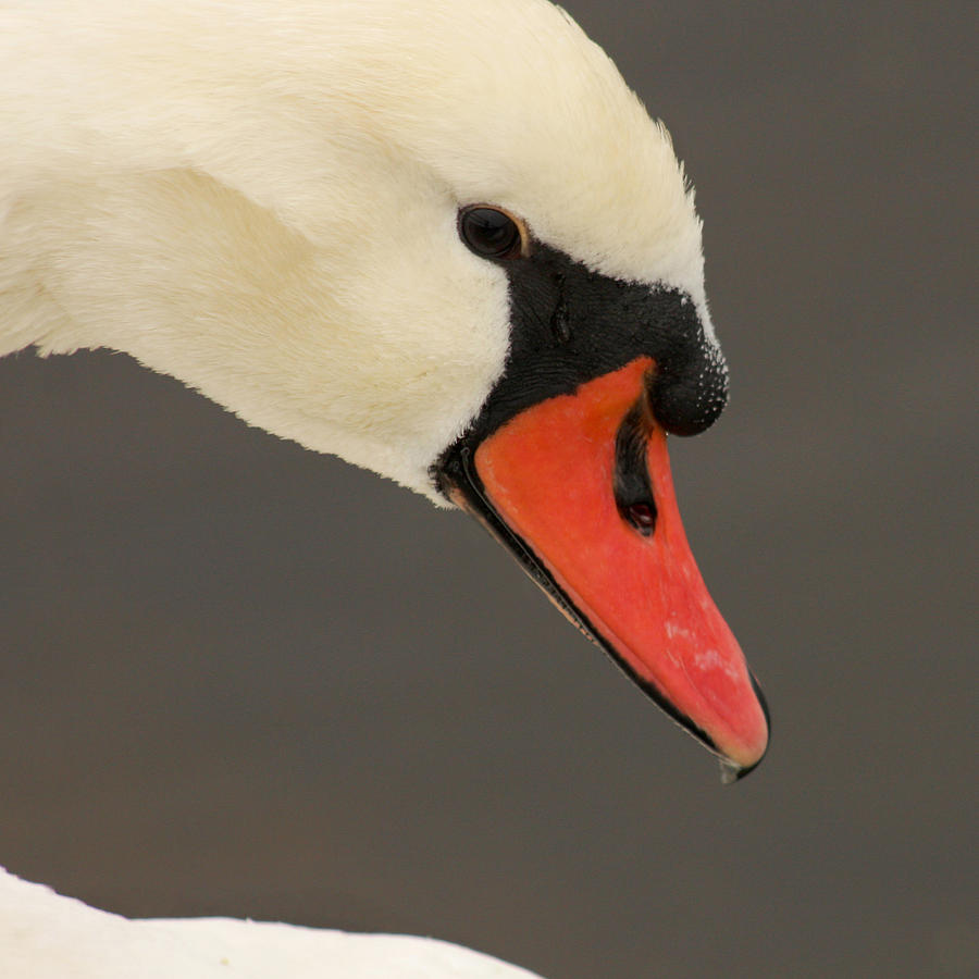 Swan Photograph - Natures Beauty by Bob and Jan Shriner
