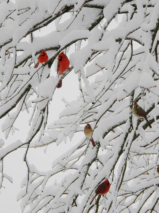 Red Birds Photograph - Natures Christmas Ornaments by Shannon Story