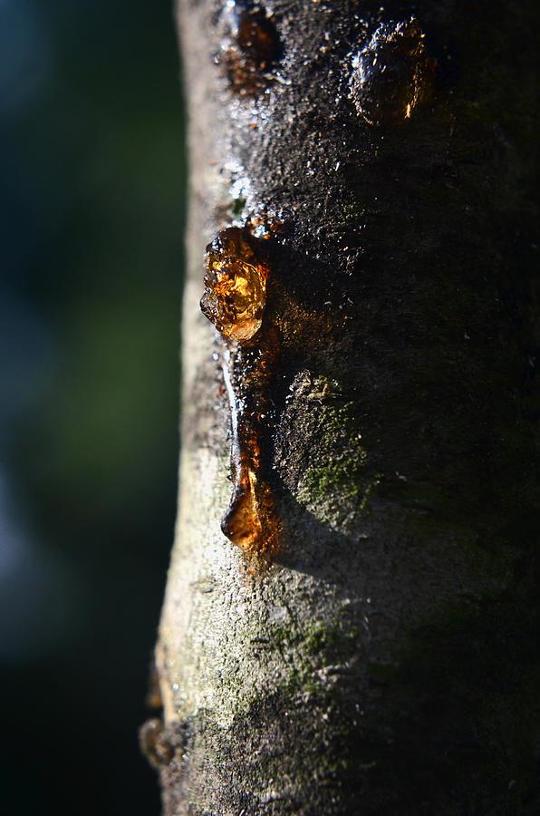 Sap Pyrography - Natures Gold by Jeffrey Platt