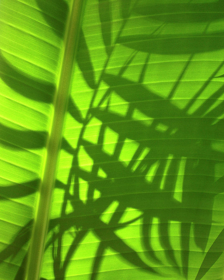 Nature Photograph - Natures Magic Shadows Of  Palm Fronds Shining Through The Leaf Of A Strelizia Tree by PIXELS  XPOSED Ralph A Ledergerber Photography