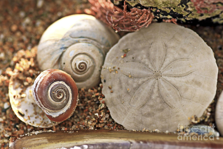 Sand Dollar Photograph - Natures Prayer for Peace by Brenda Giasson