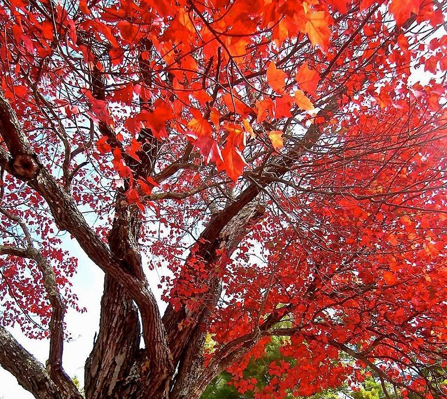 Tree Photograph - Resplendence by Elizabeth Tillar