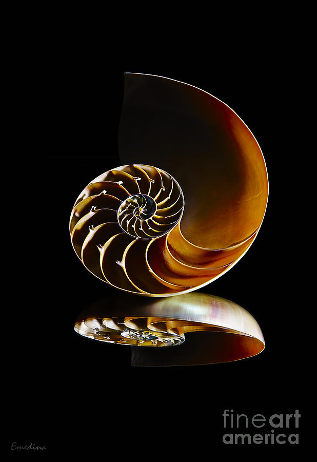 Shell Photograph - Nautilus Reflection II by Eyzen M Kim