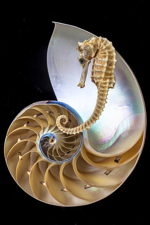 Chambered Nautilus Photograph - Nautilus With Seahorse by Garry Gay