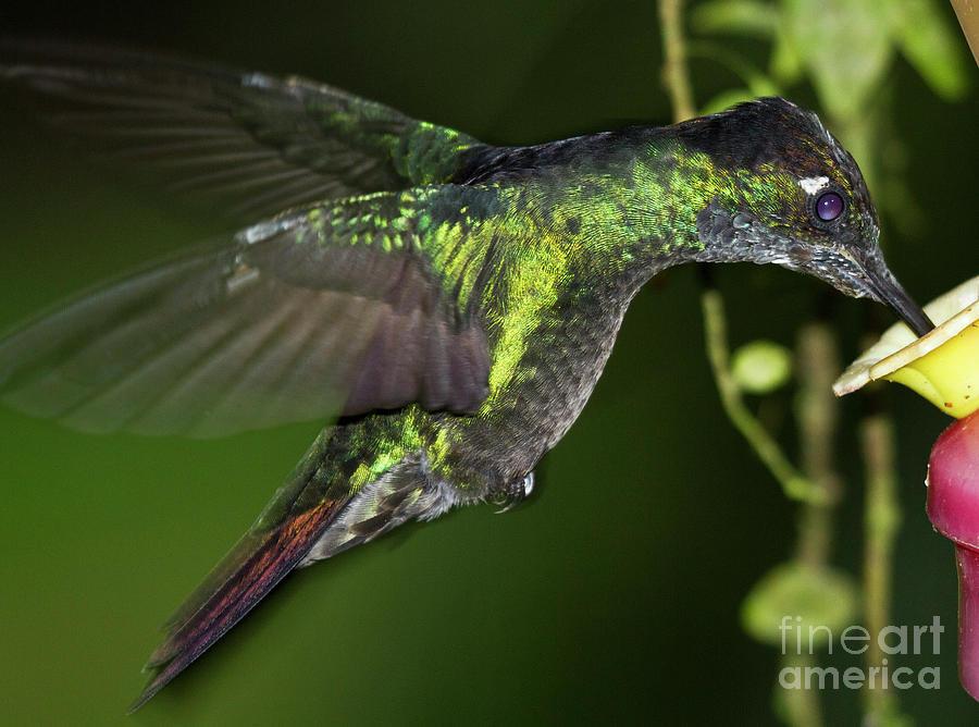 Rufous Tailed Hummingbird Photograph - Nectar Feeding Hummingbird by Heiko Koehrer-Wagner