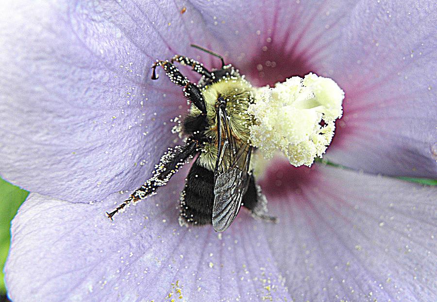 Bumble Bee Photograph - Nectar Overload  by Kim Galluzzo Wozniak