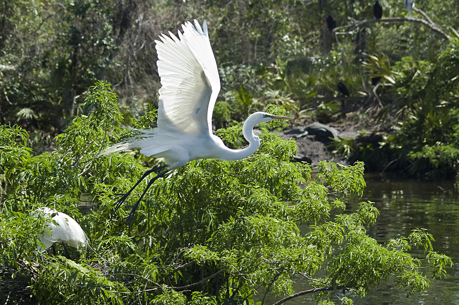 Great White Egrets Photograph - Need More Branches by Carolyn Marshall