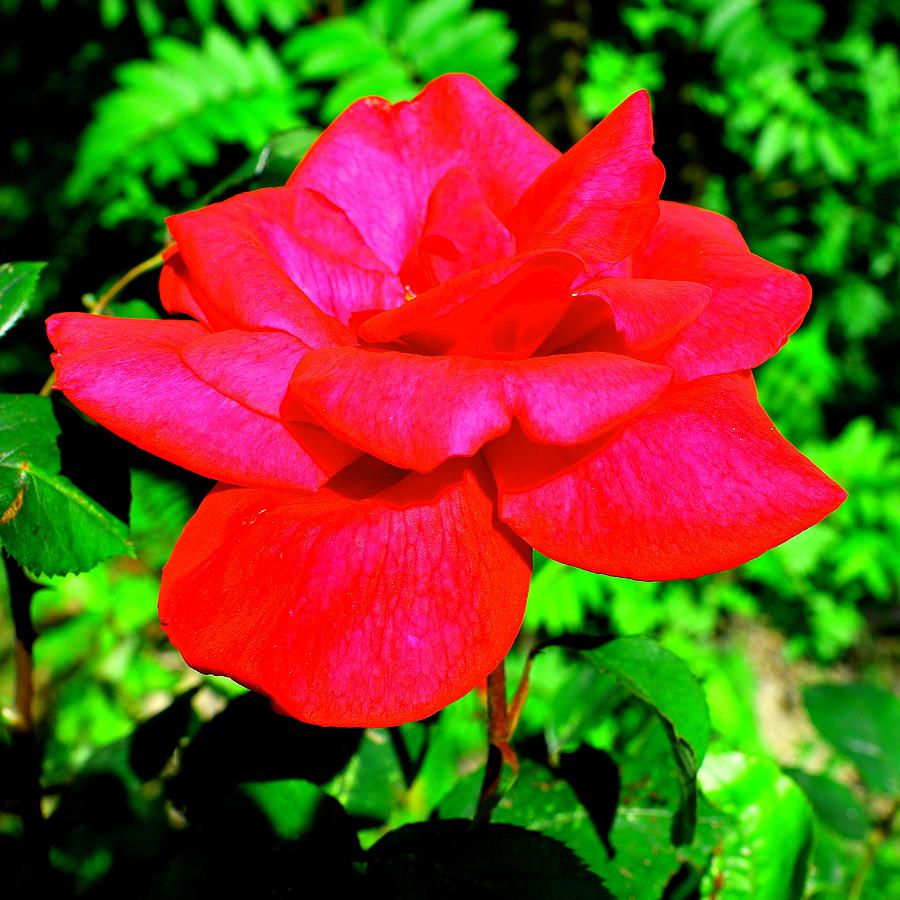 Rose Photograph - Neon Red Rose by Mavis Reid Nugent