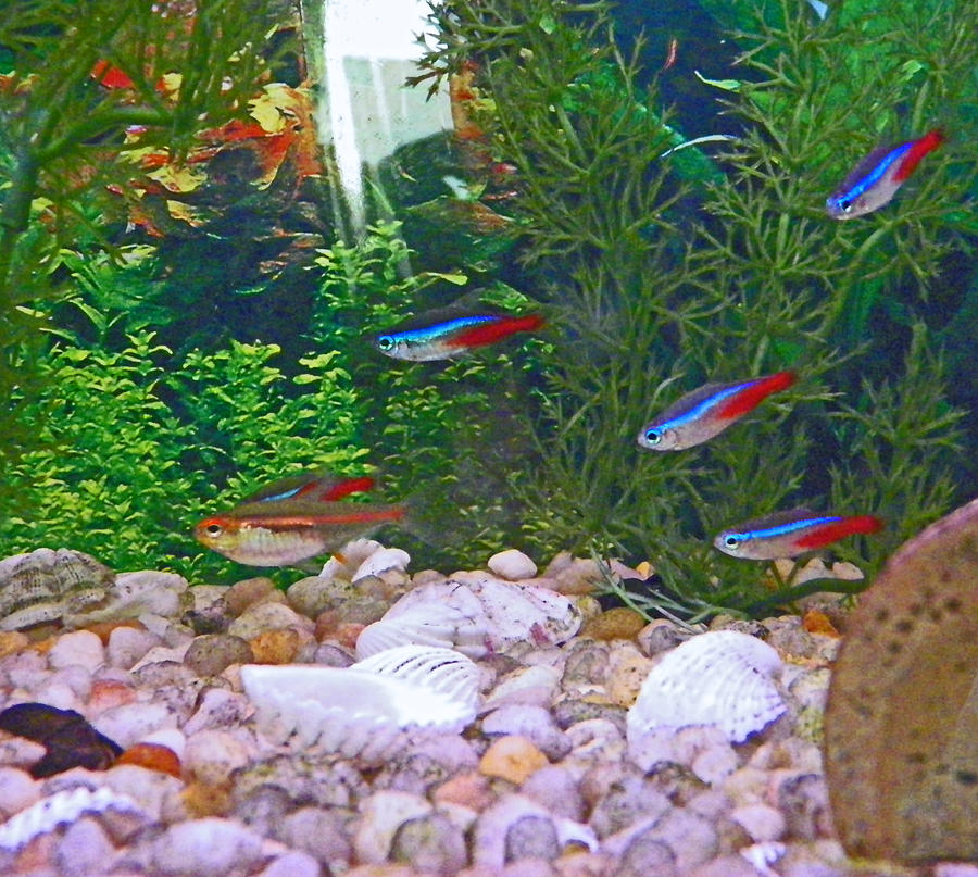 Fish Photograph - Neon Tetra 1 by Seth Shotwell