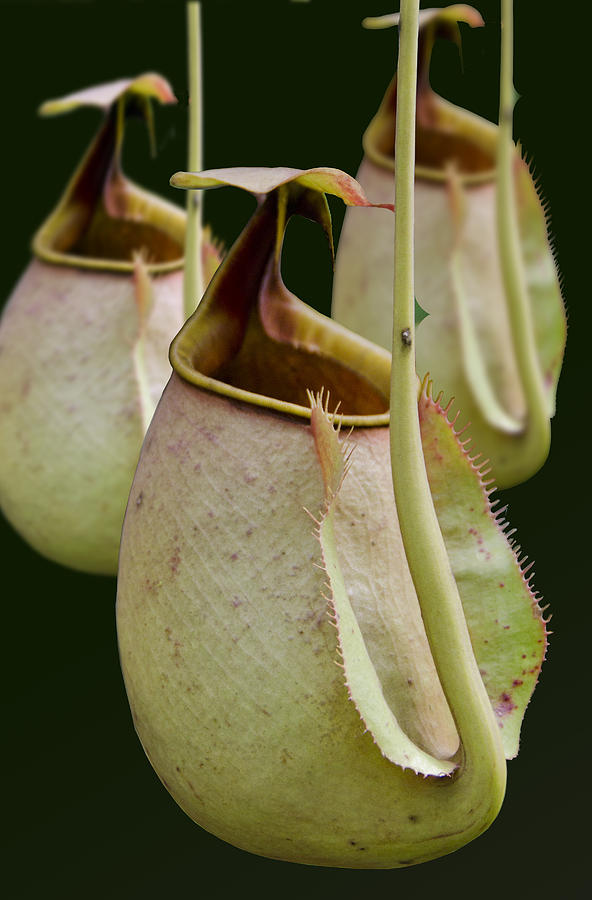 Botanical Photograph - Nepenthes by Roger Leege