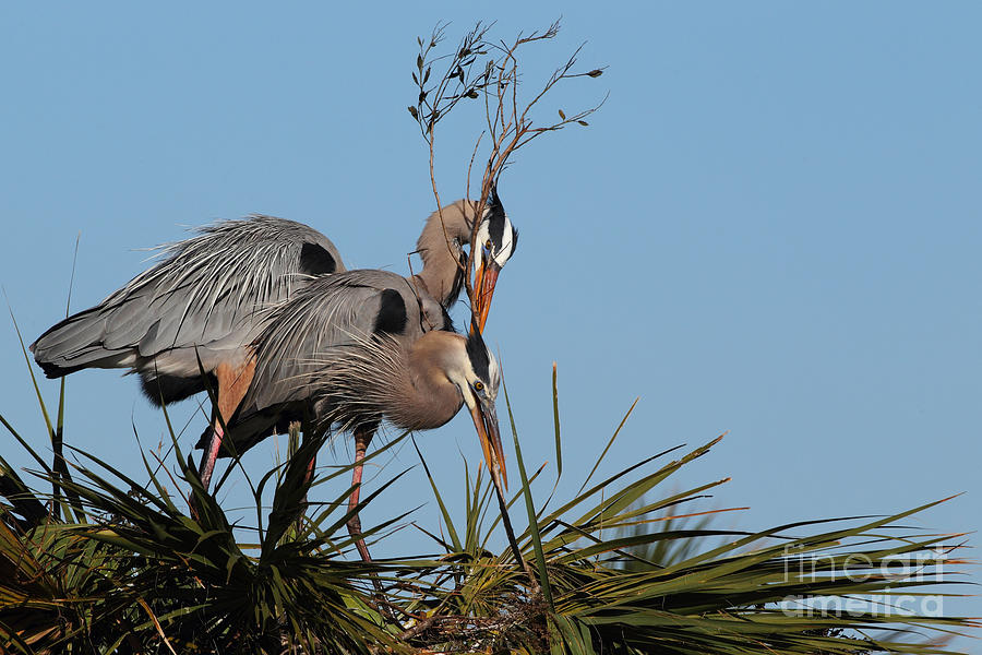 Nature Photograph - Nesting Great Blue Herons by Rick Mann