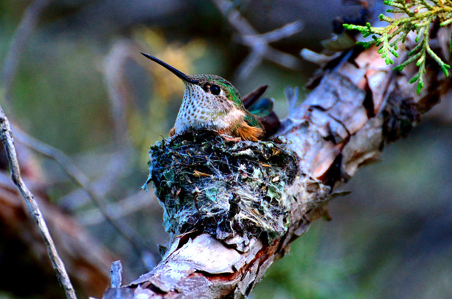 Nesting Hummingbird by Tranquil Light  Photography