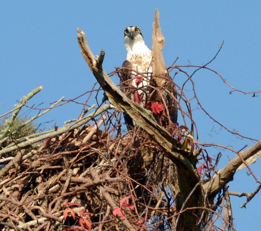 Osprey Photograph - Nesting by Julie Cameron