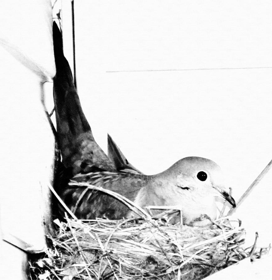 Pigeon Photograph - Nesting Mama by Michael Sokalski