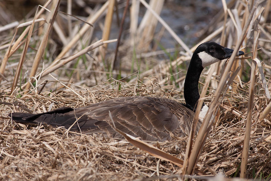Canadian Goose Photograph - Nesting Mother Goose by Natural Focal Point Photography