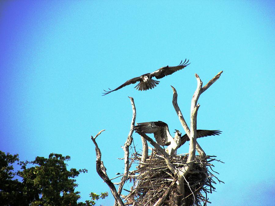 Avian Photograph - Nesting Ospray by Will Boutin Photos