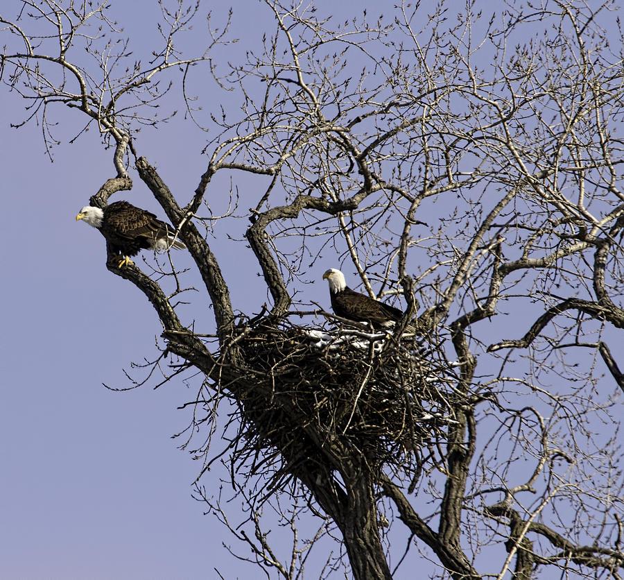 Nesting American Bald Eagles Photograph - Nesting Pair Of American Bald Eagles 1 by Thomas Young