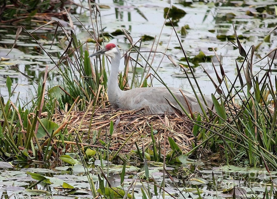 Nesting Bird Photograph - Nesting Sandhill Crane by Carol Groenen