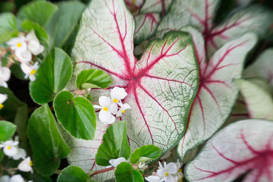 Coleus Photograph - Nestled by Kimberly Ayars