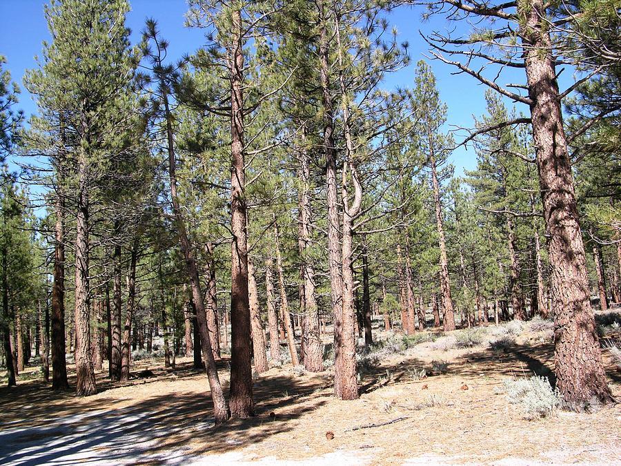 Nevada Desert Pine Trees Ted Pollard on Metal Wall Art Mountains Trees