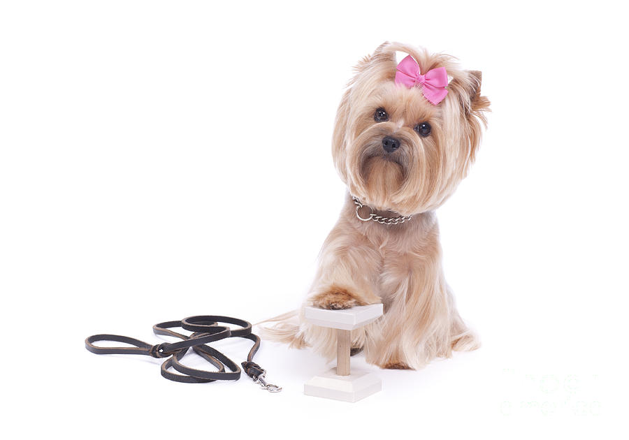 Yorkie Photograph - Never Give Up by Lisa Thornberg