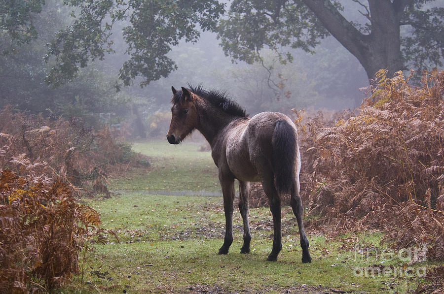 New Forest Pony Photograph - New Forest Pony by Dave Pressland FLPA