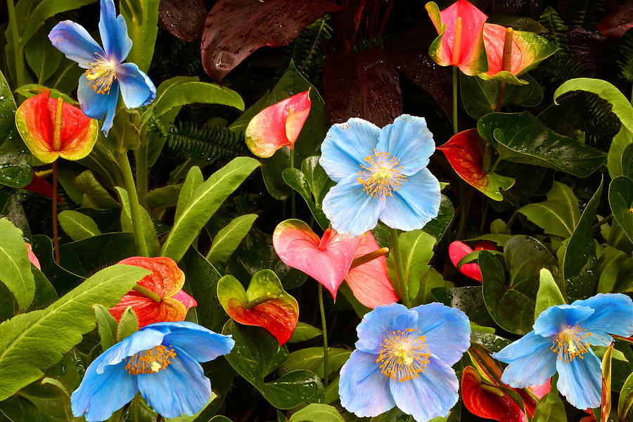 Meconopsis Betonicifolia Photograph - New World And Old World Exotic Flowers by Byron Varvarigos