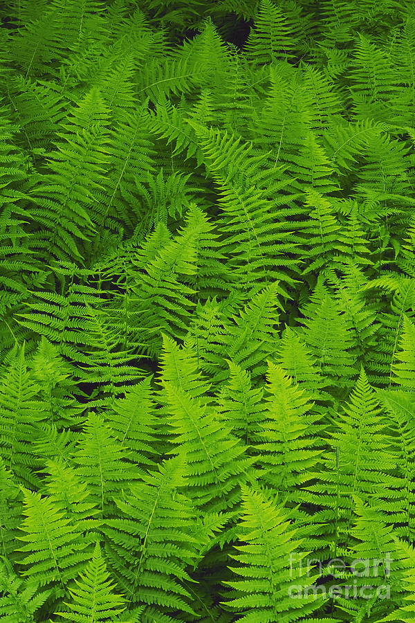 Nature Photograph - New York Ferns by David Davis