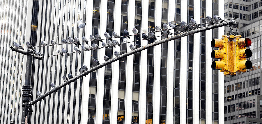 New York Photograph - New York Pigeons by Stephen Richards
