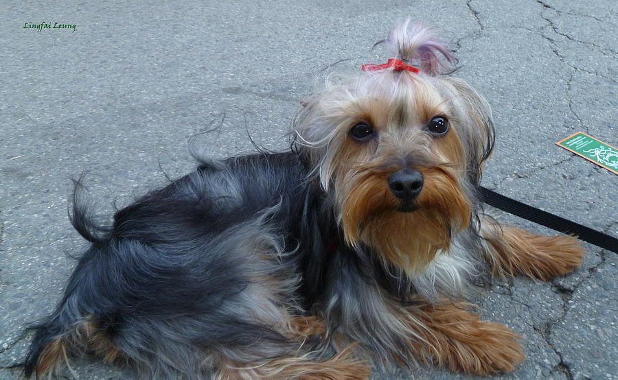 Pampered Puppy Photograph - New Yorkie Cutie  by Lingfai Leung