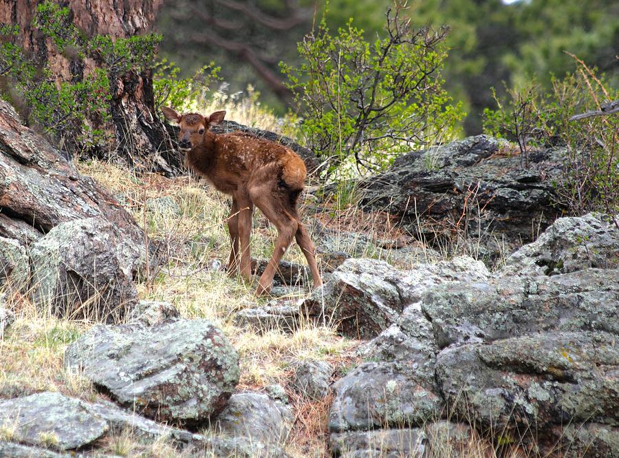 Newborn Elk Calf Photograph by Shane Bechler