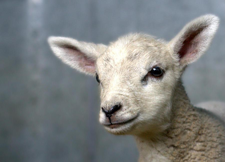 Newborn Lamb Photograph by Bob Van Den Berg Photography