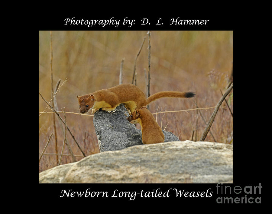 Wildlife Photograph - Newborn Long-tailed Weasels by Dennis Hammer