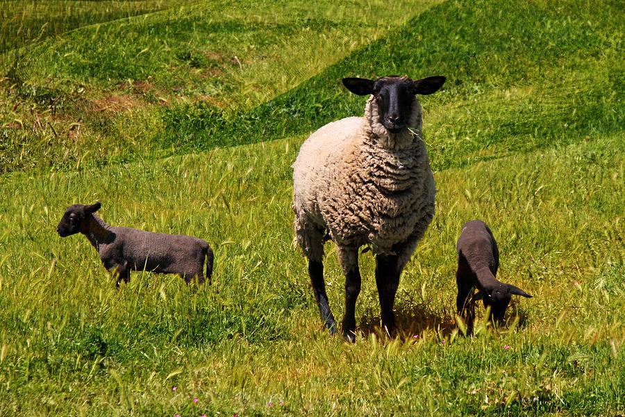 Sheep Photograph - Newborn Twins by Donna Kennedy